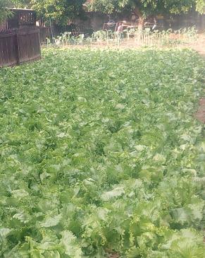 lettuce 1-19